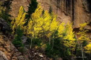 An Example of no direct sunlight but this picture of Quaking Aspen turned out anyway.