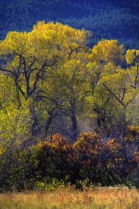Light pouring through the golden, shimmering Cottonwood leaves.